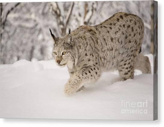 Hunting Lynx Canvas Print
