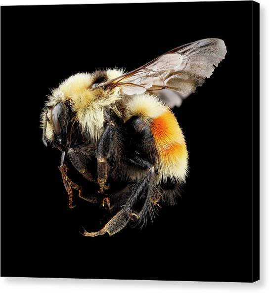 Pollinator Canvas Print - Hunt's Bumblebee by Us Geological Survey
