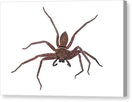 Tropical Rainforests Canvas Print - Huntsman Spider by Alex Hyde