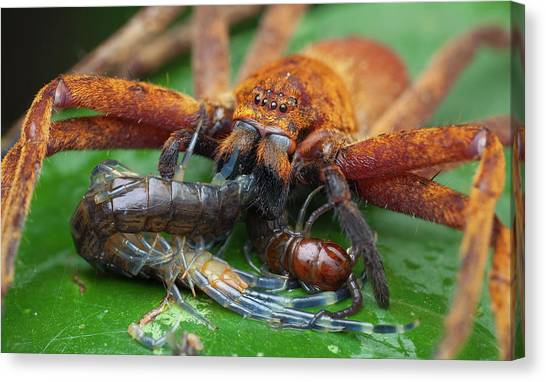 Centipedes Canvas Print - Huntsman Spider Feeding On Centipede by Melvyn Yeo