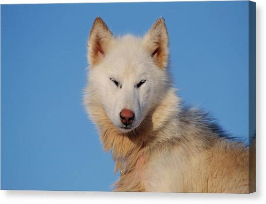 Huskies Canvas Print - Husky Dog by Simon Fraser/science Photo Library