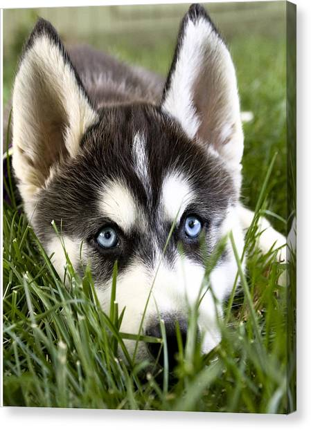 Huskie Canvas Print - Husky In The Grass by Susan Stone