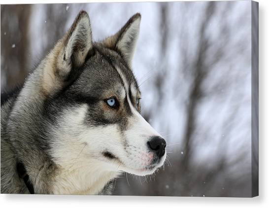 Husky Looking Away, Quebec, Canada Canvas Print by Jonathan