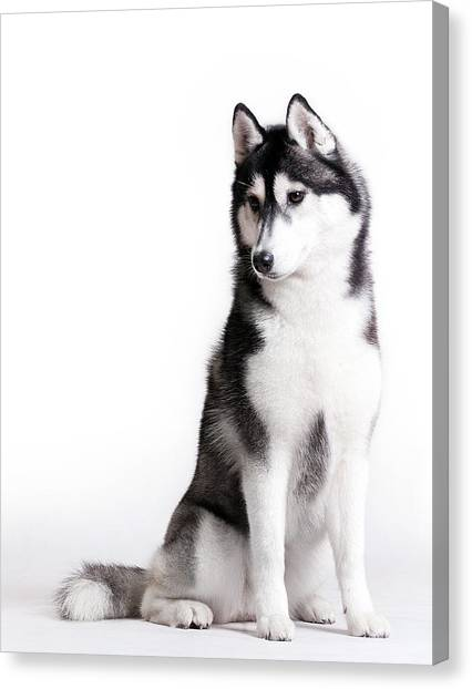 Husky On White Canvas Print by JanekWD