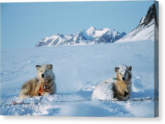 Huskies Canvas Print - Husky Sled Dogs by Simon Fraser/science Photo Library