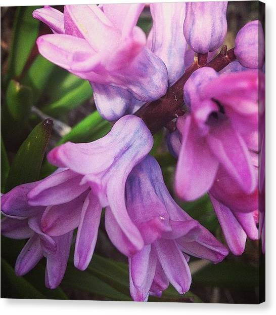 Flower Canvas Print - Hyacinth Flower by Christy Beckwith