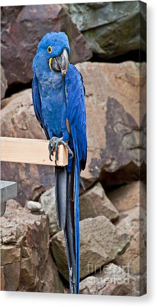 Hyacinth Macaw Parrot Bird Art Prints Canvas Print