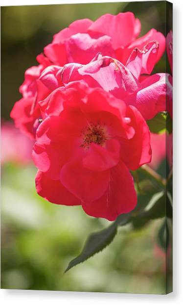 Knockout Canvas Print - Hybrid Rose (rosa 'pink Knock Out') by Maria Mosolova/science Photo Library