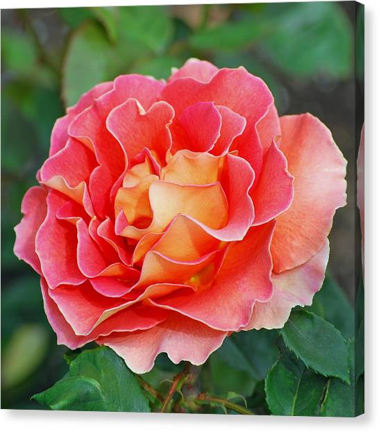 Hybrid Tea Rose  Canvas Print