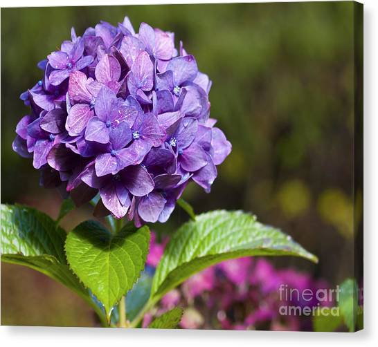 Canvas Print featuring the photograph Hydrangea by Belinda Greb