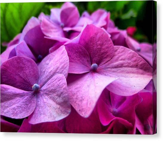 Hydrangea Bliss Canvas Print