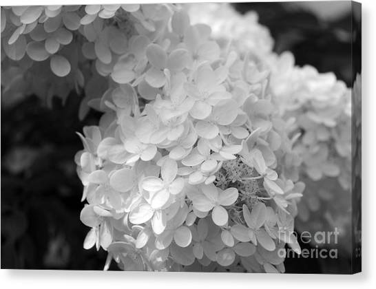 Hydrangea Bright And White Canvas Print