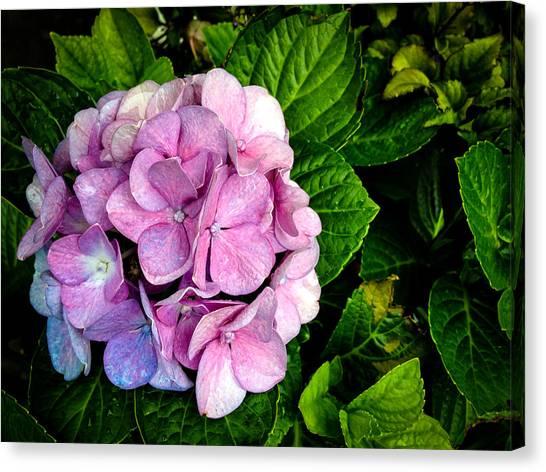 Hydrangea Singapore Flower Canvas Print by Donald Chen