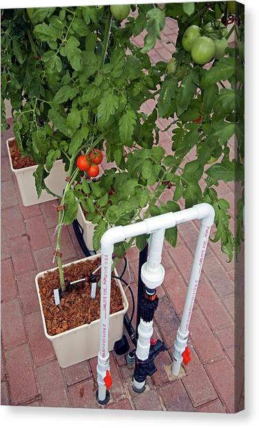 Spinach Canvas Print - Hydroponic Tomatoes At A Hospital Farm by Jim West