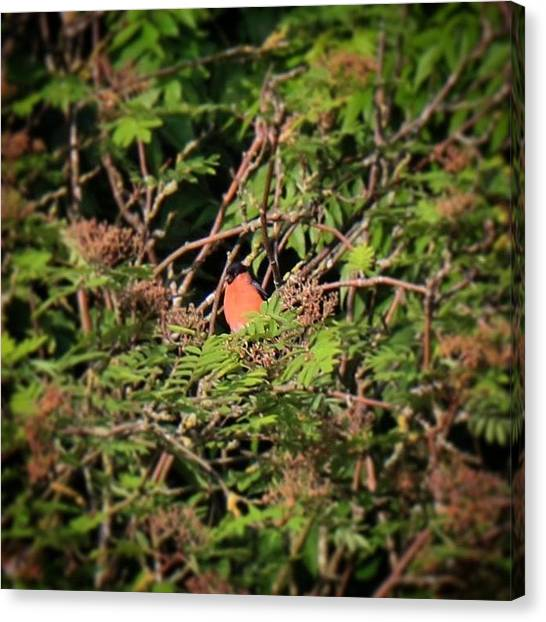 Finches Canvas Print - I Don't Often See Bullfinches In Our by Miss Wilkinson