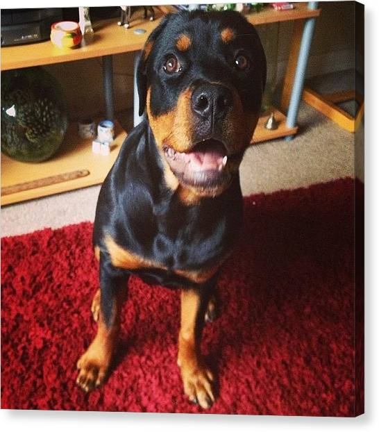 Rottweilers Canvas Print - I Got Roxy For A Bit Today :p 😝 #pup by Charlotte Turville