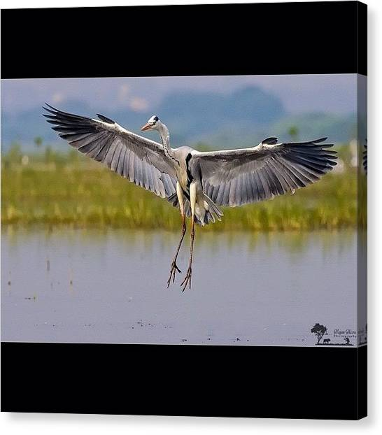 Herons Canvas Print - I Have Self-doubt. I Have Insecurity. I by Nayan Hazra
