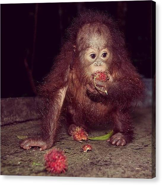 Orangutans Canvas Print - I Love Rambutan by Joshua Ratadhi