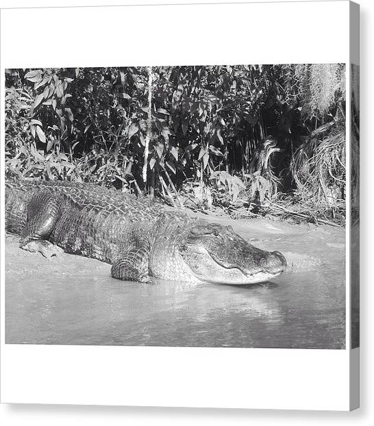 Bayous Canvas Print - Alligator by Alyson Von