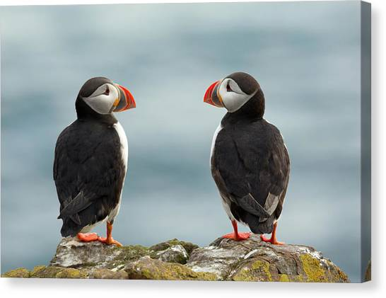 Puffins Canvas Print - I Love You - I Love You Too by Milan Zygmunt