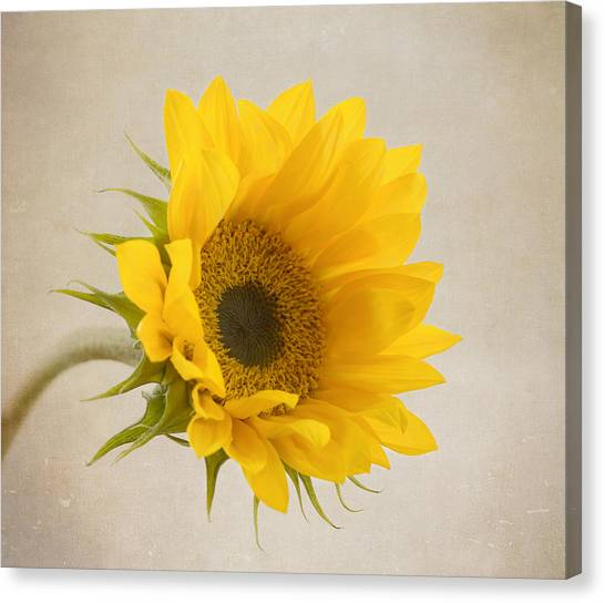 Sunflower Canvas Print - I See Sunshine by Kim Hojnacki
