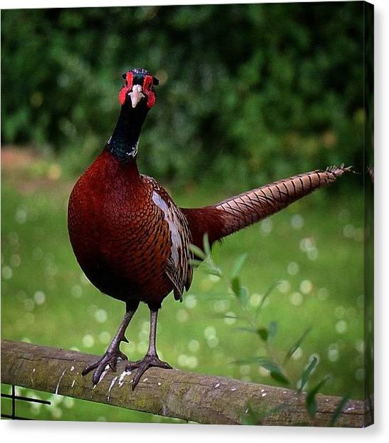 Pheasants Canvas Print - I Think He Knows He's Handsome by Miss Wilkinson