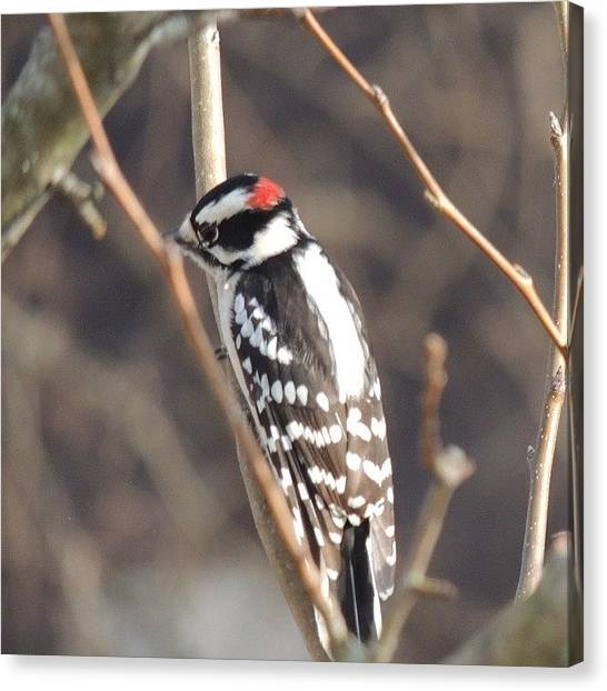 Woodpeckers Canvas Print - I Think It's A #woodpecker #birds by Robb Needham