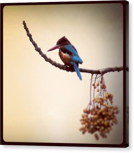Kingfisher Canvas Print - I Think She Likes This Tree. A Regular by Kamlesh Kishor