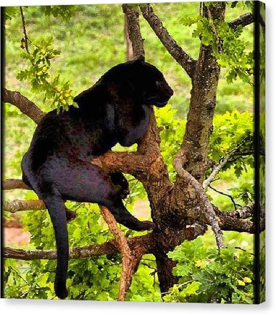 Panthers Canvas Print - I Want A Miniature Panther Like The by Brandon Fisher
