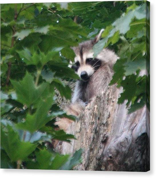 Raccoons Canvas Print - I Was Taken By Surprise By A Pair Of by Jan Pan