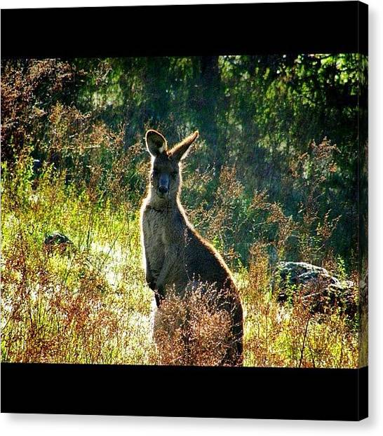 Kangaroo Canvas Print - I Wasn't Actually That Close- I Used by Harry Brown
