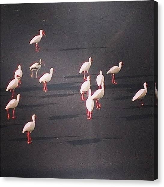 Ibis Canvas Print - #ibis In The Parking Lot... #birds by Gary W Norman