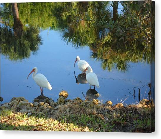 Ibis In Three Canvas Print