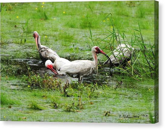 Ibis In Willow Pond Canvas Print