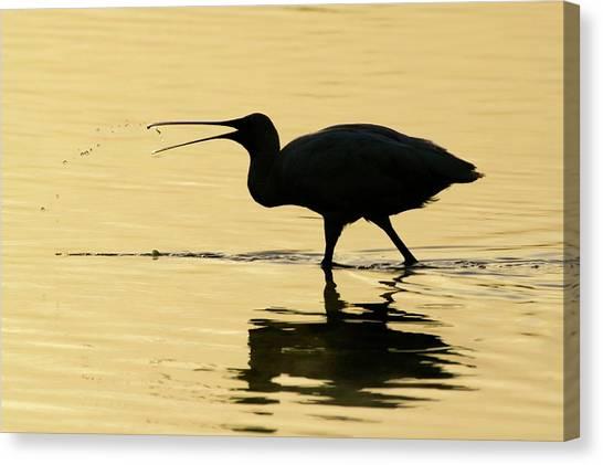 Ibis Canvas Print - Ibis by Manuel Presti/science Photo Library