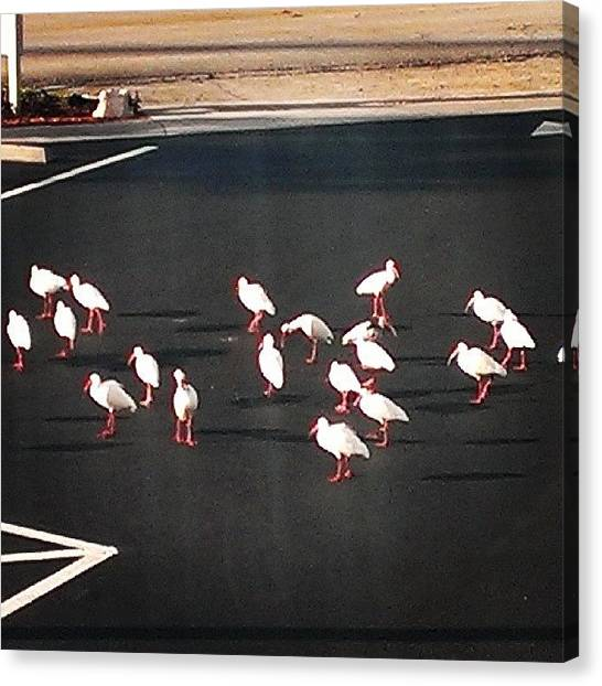 Ibis Canvas Print - #ibis  On The Dance Floor. Well Parking by Gary W Norman