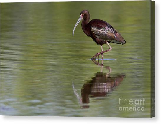Ibis Reflection Canvas Print