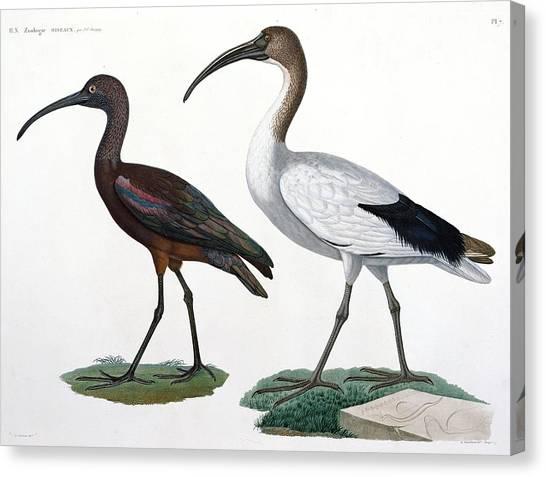 Ibis Canvas Print - Ibises by Jules Cesar Savigny
