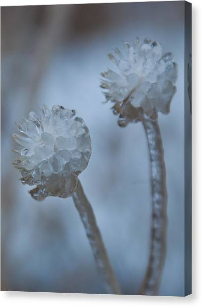Ice-covered Winter Flowers With Blue Background Canvas Print