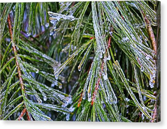 Ice On Pine Needles  Canvas Print