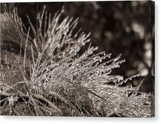Ice On Pine Canvas Print