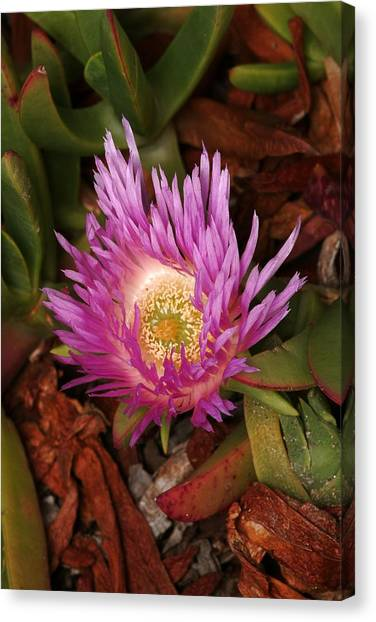 Ice Plant San Diego Canvas Print