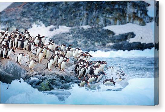 Ice Swimmers Canvas Print by David Merron Photography