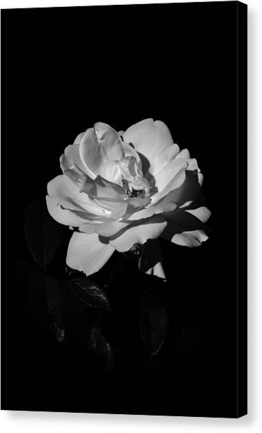 Iceberg Rose Canvas Print