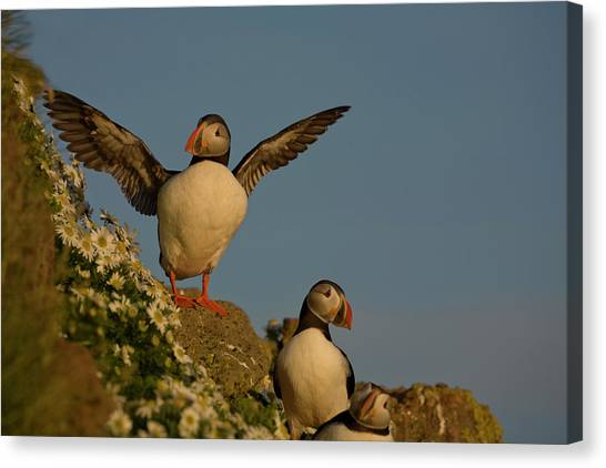 Puffin Canvas Print - Iceland, Latrabjarg by Jaynes Gallery