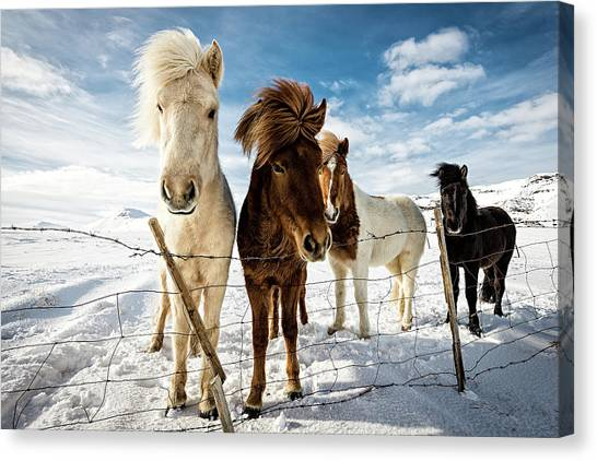 Horses Canvas Print - Icelandic Hair Style by Mike Leske