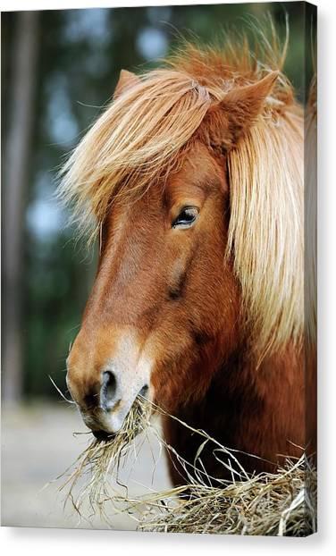 Icelandic Horse Canvas Print by Bildagentur-online/mcphoto-schulz