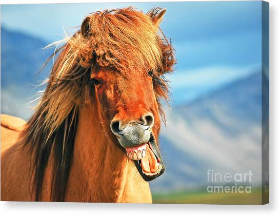 Funny Horses Canvas Print - Icelandic Horse by JR Photography
