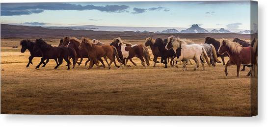 Icelandic Horses Galloping Over The Canvas Print by Coolbiere Photograph