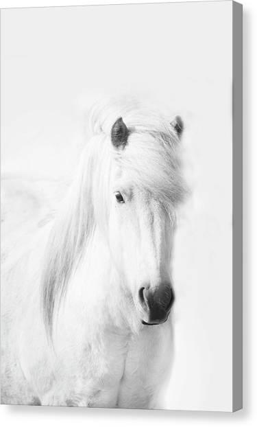 Icelandic Pony In White Canvas Print